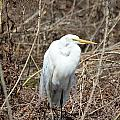 Snowy Egret On The Marsh by Robert Smice