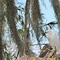 Snowy Egret by Paul Golder