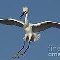 Snowy Egret Photo by Meg Rousher