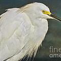 Snowy Egret Portrait by Deborah Benoit