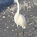 Snowy Egret Pose by Christiane Schulze Art And Photography