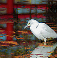 Snowy Egret Stalking His Lunch by Optical Playground By MP Ray