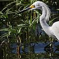 Snowy Egret Stalking by Robert Frederick