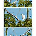Snowy Egret Triptych by Anne Kitzman