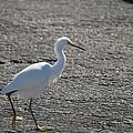 Snowy Egret Walk by Linda Kerkau