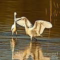Snowy Egret Wingspan by Robert Frederick