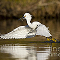 Snowy Egret With Lunch by Bryan Keil
