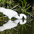 Snowy Egret With Reflection by Avian Resources