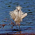 Snowy Egret With Yellow Feet by Tom Janca