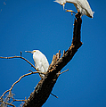 Snowy Egrets by Donna Proctor