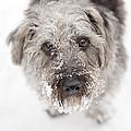 Snowy Faced Pup by Natalie Kinnear