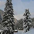 Snowy Fir Trees  by Christiane Schulze Art And Photography