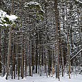 Snowy Forest In Acadia by Meandering Photography
