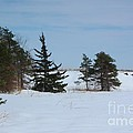 Snowy Hillside With Evergreen Trees And Bluesky by Robert D  Brozek