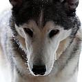 Snowy Husky Nanuk by Marjorie Imbeau