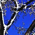 Snowy Limbs 14051 by Jerry Sodorff