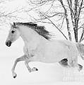 Snowy Mare Leaps by Carol Walker