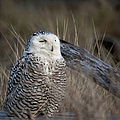Snowy Owl 2 by Betty Depee