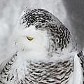 Snowy Owl 2 by Tracy Winter