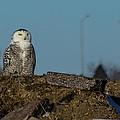 Snowy Owl by Aaron J Groen
