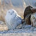 Snowy Owl Among The Rocks by John Vose