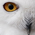 Snowy Owl by Andrew McInnes