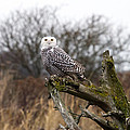 Snowy Owl At Boundary Bay  by Pierre Leclerc Photography