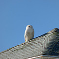 Snowy Owl Awaiting An Opportunity by Chris Howe
