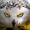 Snowy Owl by Bill Lindsay