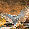Snowy Owl - Bubo Scandiacus by Michael Russell