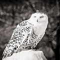 Snowy Owl Cold Stare Black And White by LeeAnn McLaneGoetz McLaneGoetzStudioLLCcom