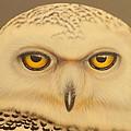 Snowy Owl by Darren Robinson