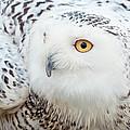 Snowy Owl by Doug Herr
