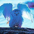 Snowy Owl Drying After Bath by Ed Nicholles