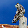 Snowy Owl by Everet Regal