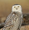 Snowy Owl Female by Anthony Mercieca
