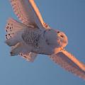 Snowy Owl Flight by Cheryl Baxter
