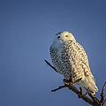 Snowy Owl by Gary Hall