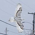 Snowy Owl Glides Into Town by Shane Borelli