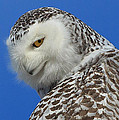 Snowy Owl Greeting Card by Everet Regal