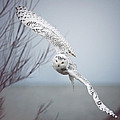 Snowy Owl In Flight by Carrie Ann Grippo-Pike