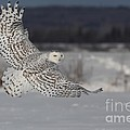 Snowy Owl In Flight by Mircea Costina Photography