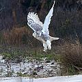 Snowy Owl In Florida 10 by David Beebe