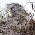 Snowy Owl In Florida 13 by David Beebe