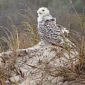 Snowy Owl In Florida 14 by David Beebe