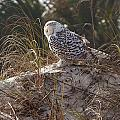 Snowy Owl In Florida 15 by David Beebe