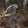 Snowy Owl In Florida 16 by David Beebe