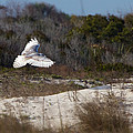 Snowy Owl In Florida 18 by David Beebe