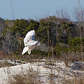 Snowy Owl In Florida 19 by David Beebe