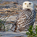 Snowy Owl In Florida 24 by David Beebe